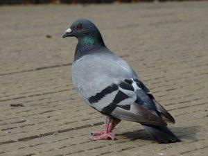 Pigeon analyse air