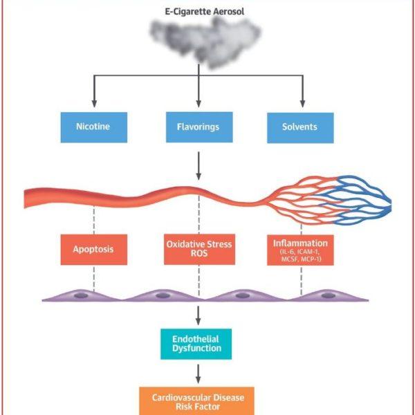 Schéma cellules endothelial